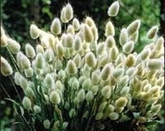 Bunny's Tail Grass 50 Seeds (Lagurus Ovatus)