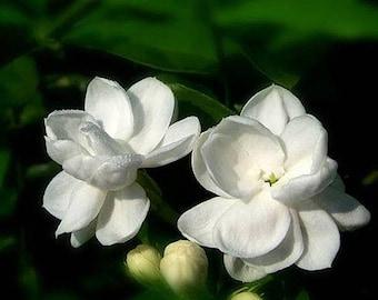 10pcs Gardenia Cape Jasmine White Fragrance Flower Floral Seeds Fresh