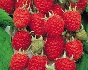 80%OFF, Caroline raspberry rooted 1 year plant, cutting