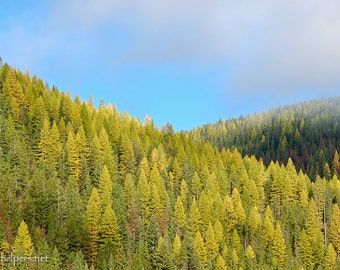 Montana Forest, Western Larch, Tamerack Trees, Autumn Landscape, Photograph or Greeting card