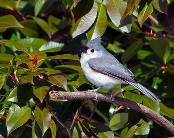 Tufted Titmouse Photo Print, Large Art Print Nature Photography, Affordable Wall Art