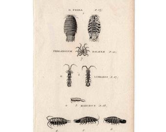 1812 ONISCUS MARINE BUGS print original antique sea life ocean engraving