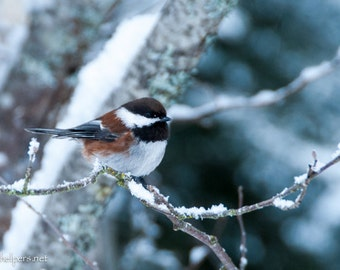 Chickadee Chestnut backed, Snow bird, Sweet Chickadee,  Photograph or Greeting card