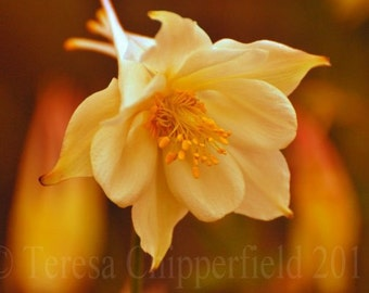 Columbine Beauty, Fine Art Flower Photo Print, Spring blooms, vintage look, 8 x 12, 12 x 18, bokeh, cream, warm yellows, wall art home decor