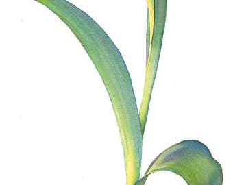 Original botanical watercolor painting, frame, tulip, floral, flower, vertical, spring, wall art, home decor, white background, realism, 2D