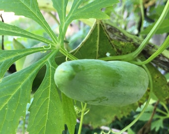10 Bolivian Cucumbers Seeds
