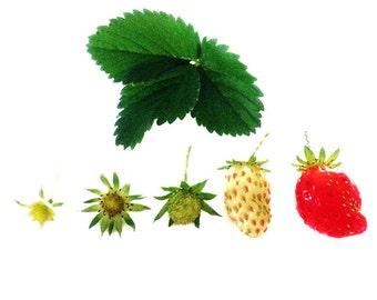 Food Photography 5x5 Strawberry Photo, Garden Photograph, Red, White, Green, Minimalist Art Print, Cafe Decor, Kitchen Decor, Fruit Picture