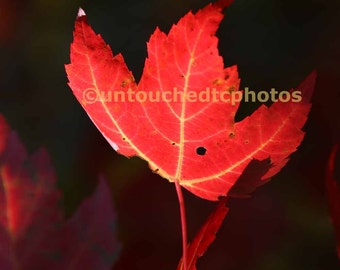 Flaming Red Maple Leaf Photograph