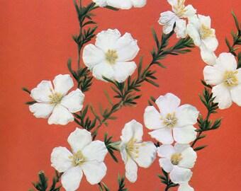 FRANKENIA. Pauciflora.  AUSTRALIAN FLORA