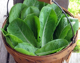 Parris Island Romaine Lettuce Heirloom Seeds - Non-GMO, Open Pollinated, Untreated