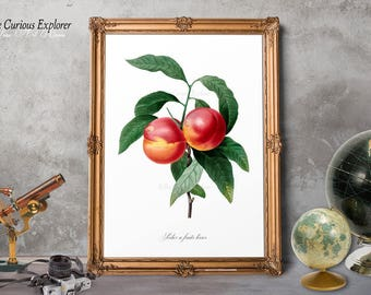 Peach Print, Nectarine Print, Peach Wall Art, Botany Fruit Print, Home Fruit Poster, Cottage Fruit Decor, Peach Fruit Decor - E11_4