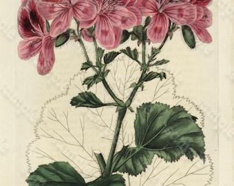 Antique Hand colored Engraving Robert Sweet Flower Garden 1838 - British Flower Garden