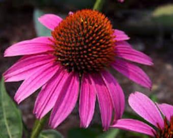 Echinacea or Purple Cone Flower Seeds