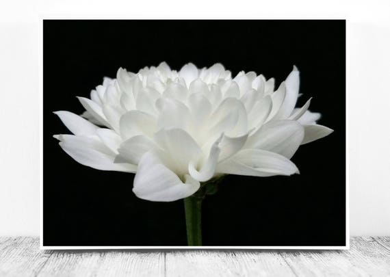 Dahlia Photograph on a Dark Background for Instant Download