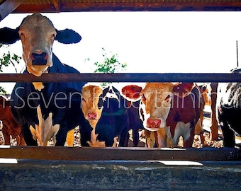 Cow Photography Wall Art Farm Print Home Decor Animals Fine Art Photography Color Photograph Picture Photo Dairy Cows Ranch Country American