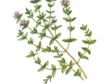 Vintage Thyme Print Digital Download / Jpeg of Vintage Thyme Plants / Plant and Botanical Images / Vintage Vegetable and Herb Prints