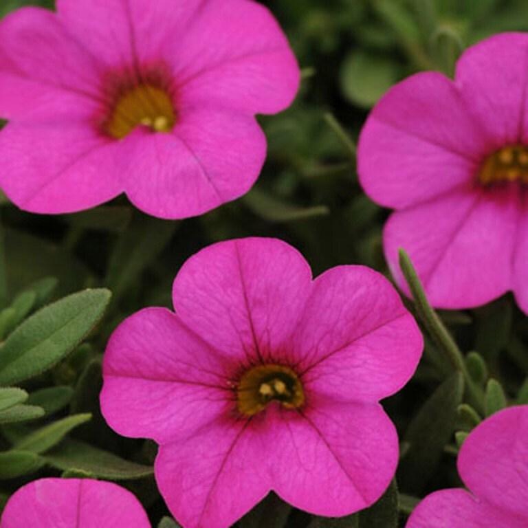 Calibrachoa kabloom deep pink flowers seeds the first zoom mightylinksfo