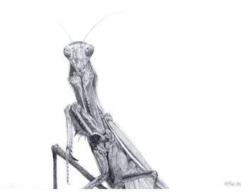Calfornia Mantis