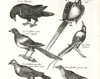 Very Rare Antique Orignal Engravings Of Birds From Merian 1657 Historiae Naturalis - Copper Engraving