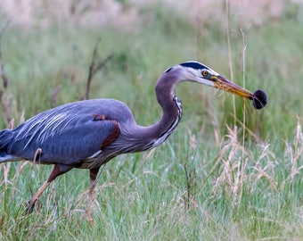 Great Blue Heron Catches A Mouse.