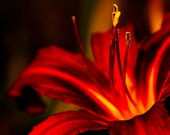 """Burgundy Daylily Flower Photograph Print """"Summer of Color"""" 8x12 Print, Nature Photography"""