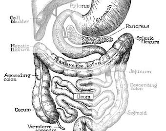 You've Got Guts - Medical Digestion Anatomy Human Vintage Art Illustration  Stomach Liver Intestines Organs - Digital Image