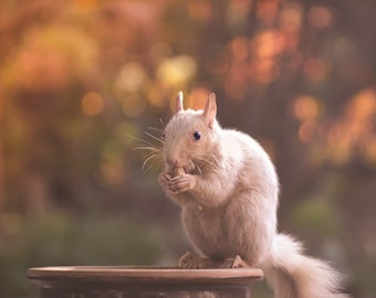 Nature Photography,white squirrel in autumn,beautiful bokeh background,nature photography,unusual wildlife,nature lovers artwork,home decor
