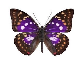 One Real Butterfly Purple Sasakia charonda China
