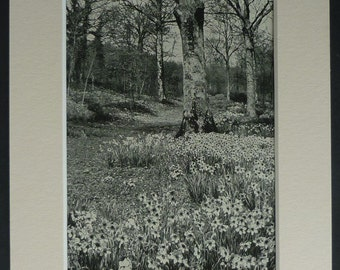 1920s Vintage Natural History Print of Daffodils in Woodland Beautiful black and white countryside photograph, English country wood decor