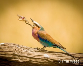 Lilac Breasted Roller with Grasshopper, Photo Print or Canvas 8x10, 12 x 18, 16 x 24, 24 x 36, 32 x 48