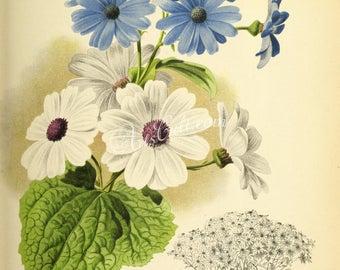 fleurs-27657 - cineraire hybrides cinéraire tournesol bleu blanc couleur vintage numérique illustration botanique floral photo ancienne de papier