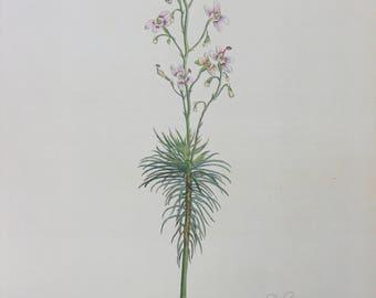 Botanical print Vintage Flower print Stylidium Laricifolium botanical floral original illustration