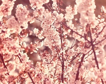 Nature Photography - Spring Blossoms - 10x14 fine art print - soft pink sunlit flower cottage chic rustic home decor