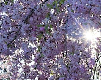 Sunlight Through the Cherry Tree Photo
