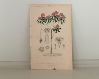 1861 RHODODENDRON tTREE ENGRAVING - flower original antique botanical plant print -