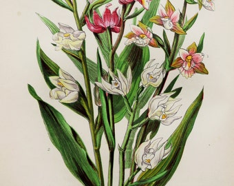 Anne Pratt Antique Botanical  Print - Marsh & White Helleborine, Orchid, Wild Flowers (216)