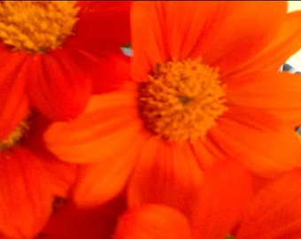150 Mexican Torch Sunflower Seeds Beautiful Bright Color