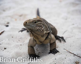 Iguana Smiling Portrait, Digital Download, Fine art, Wall art, Nature Photography, Home Decor