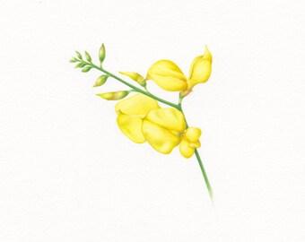 """ORIGINAL WATERCOLOR """" Italian yellow broom"""". Watercolor on 100% cotton paper. Broom. Watercolor. Yellow flowers. Botanical."""