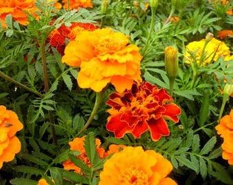 WBML 200pcs TagetespatulaL African marigold seeds, Osteospermum Ecklonis Flower ,Flower Show,marigold seeds