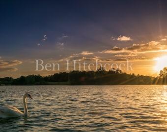 Cosneston Lakes, Swan at Sunset