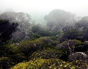 Juniper Tree   Forest   Green Yellow   Mist Fog   Fine Art Photography   Photo   polychromatophil   Canary Islands   Mystic Calming Macchia