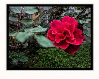 """Red Rose Print 
