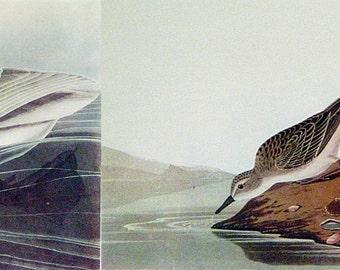 Vintage Trumpeter Swan /Semipalmated Sandpiper 1940 Audubon Audobon Bird Print Vintage Mid-Century Full Color Art Illustration Nice Wall Art