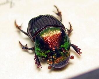 Real Framed Rare Male Phanaeus Igneus Rainbow Scarab Beetle 8486