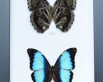 Beautiful Butterfly Morpho blue thousand colors, this diadamia duplex