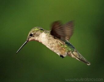 Bird Photography, Ruby-throated Hummingbird Print, Green Wall Art, Nursery Art, Girls Bedroom Decor, Boys Room Art, Hummingbird In Flight
