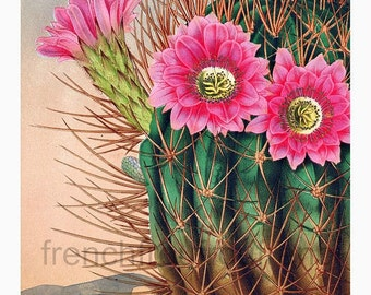 antique french botanical print pink cactus flower echinopsis illustration digital download