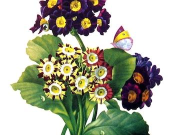 Primrose Flower - 1970's Wildflowers Print - Botanical Print - Vintage Color Illustration - Vintage Book Page - 10 x 8 - 1973