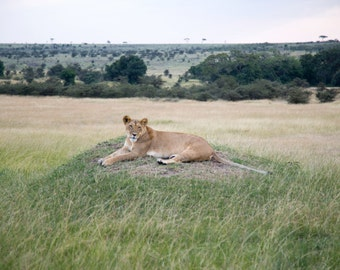 Animal Photography - Lioness Print - Maasai Mara, Kenya - Safari